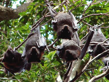 Flying foxes - Carriers of Hendra virus