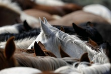 Tightly packed herd of vulnerable horses