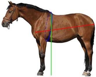 Common equine body measurements