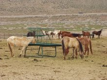 Wild horses at a BLM holding site