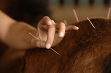 Horse acupuncture gaining in popularity